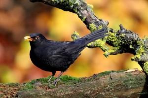 blackbird-205352_640